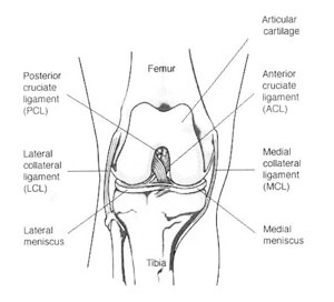Anatomy of the knee knee injuries knee anatomy kneepic ccuart Image collections